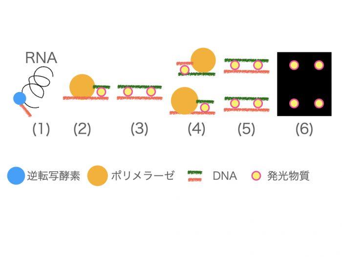 PCR(遺伝子増幅)の仕組み