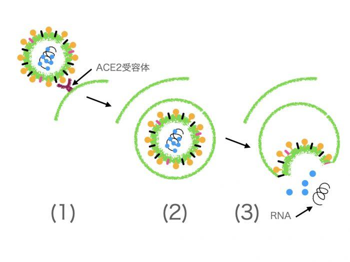 コロナウイルスが細胞に感染する仕組み
